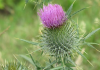 Photograph of thistle
